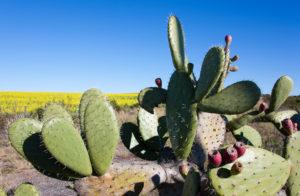 Nopal Kaktus